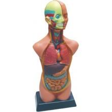 Set de anatomia